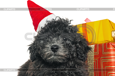 Puppy of poodle with Christmas gifts | High resolution stock photo |ID 3133723