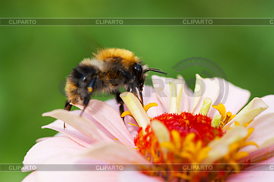 Bee on flower | High resolution stock photo |ID 3150495