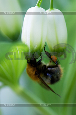 Bumble-bee   High resolution stock photo  ID 3150565