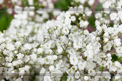Small white flowers | High resolution stock photo |ID 3153181