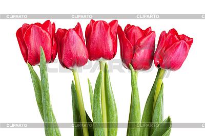 Tulips   High resolution stock photo  ID 3153368