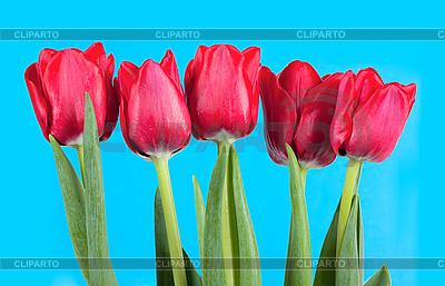 Tulips | High resolution stock photo |ID 3153369