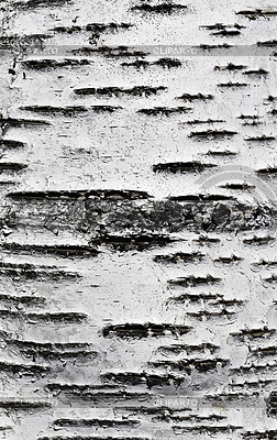 Birch bark texture | High resolution stock photo |ID 3212978
