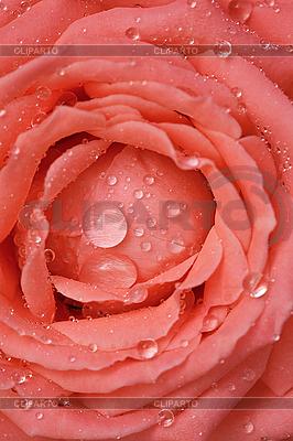 Розы фото с капельками росы