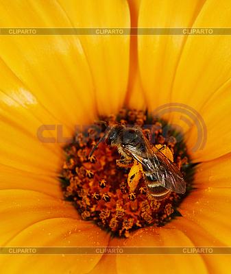 Dziki karmienie pszczół na pomarańczowy kwiat | Foto stockowe wysokiej rozdzielczości |ID 3147508