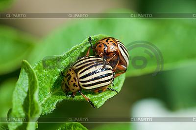 Szkodników ziemniaka - chrząszcze Colorado na liściach | Foto stockowe wysokiej rozdzielczości |ID 3148835