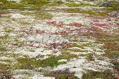 Pionowego rzutu mchów i porostów - północna tundra | Foto stockowe wysokiej rozdzielczości |ID 3152499