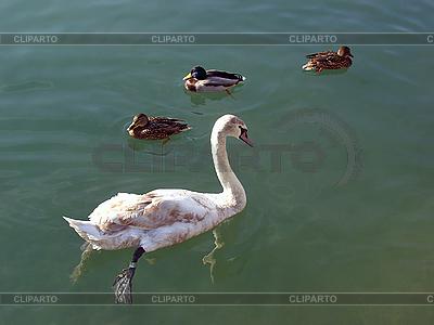Ein junger weißer Schwan und drei Enten | Foto mit hoher Auflösung |ID 3179421