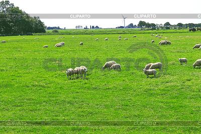 Sheep graze in meadow near Dutch farm | High resolution stock photo |ID 3345589
