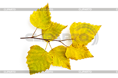 Gelbe Birkenblätter auf Zweig | Foto mit hoher Auflösung |ID 3183218