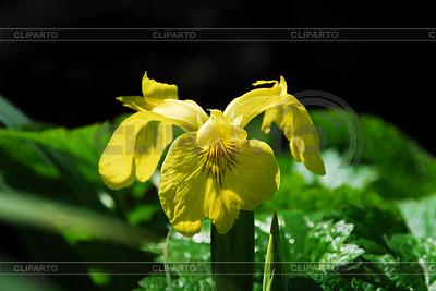 Gelbe Lilienblüte | Foto mit hoher Auflösung |ID 3227376