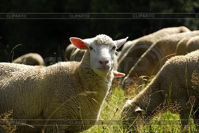 羊在牧场 | 高分辨率照片 |ID 3229808