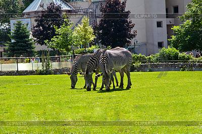 Three zebras | Foto stockowe wysokiej rozdzielczości |ID 3338826