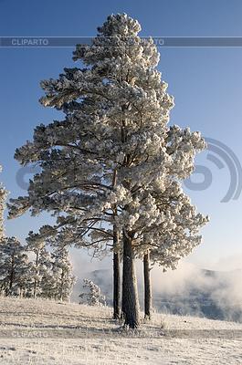 Snowy winter tree | High resolution stock photo |ID 3302668