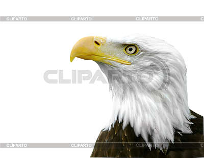 American Bald Eagle | High resolution stock photo |ID 3314608