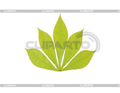 Zielony liść kasztanowca | Foto stockowe wysokiej rozdzielczości |ID 3317901