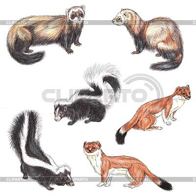 Fretki, skunksy i gronostaje | Stockowa ilustracja wysokiej rozdzielczości |ID 3348255
