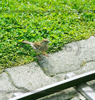 Amsel singt für Fütterung | Foto mit hoher Auflösung |ID 3356935