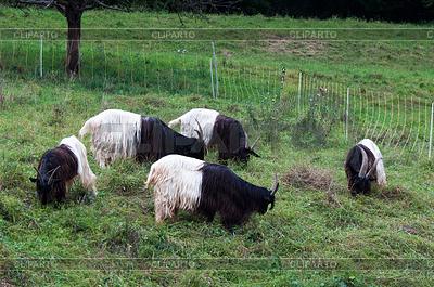 Valais Blackneck Goats | High resolution stock photo |ID 3378973