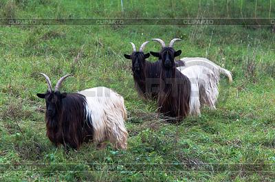 Valais Blackneck Goats   High resolution stock photo  ID 3378975